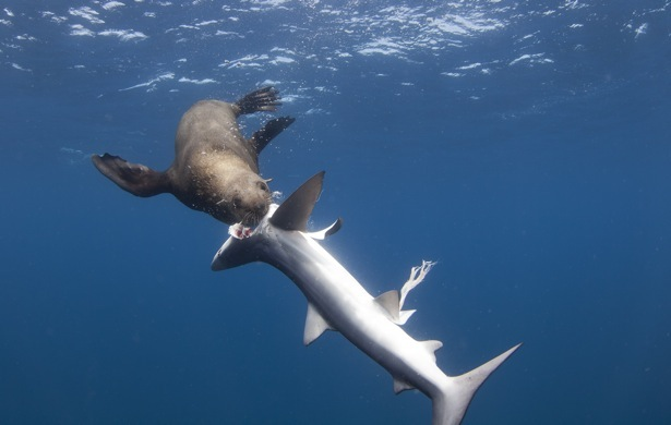 Attached Image: sealshark.jpg