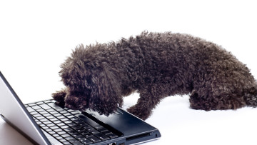 poodle-shutterstock