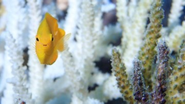 1489888525_fish_swims_around_healthy_coral_on_the_australian_great_barrier_reef