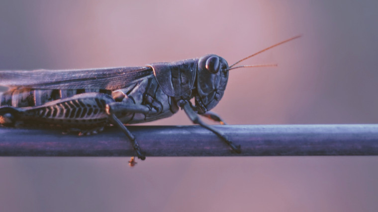 Picture of a locust on a branch